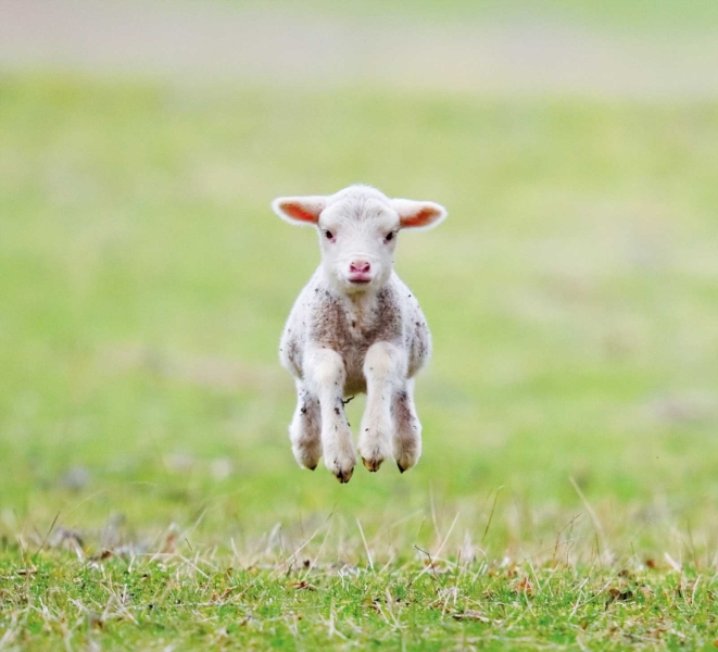 Sheep wool: an ecological material