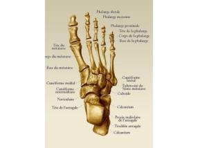 Les fonctions du pied